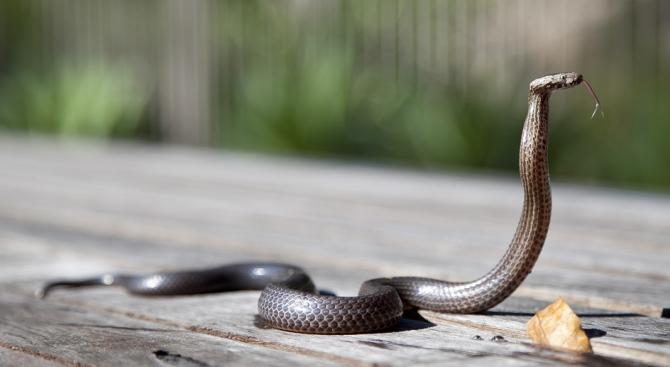 Кобра погълна друга кобра, а после я изплю мъртва