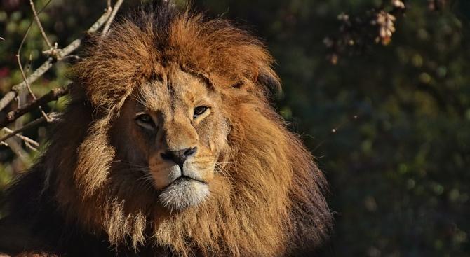 Откриха древен лъв, по-голям от полярната мечка