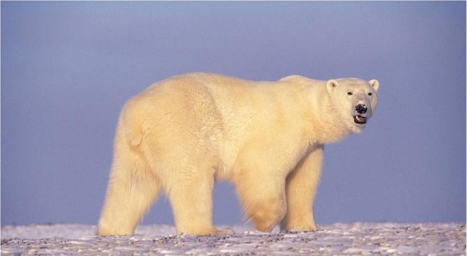 Полярна мечка се появи край руско село в Камчатка на