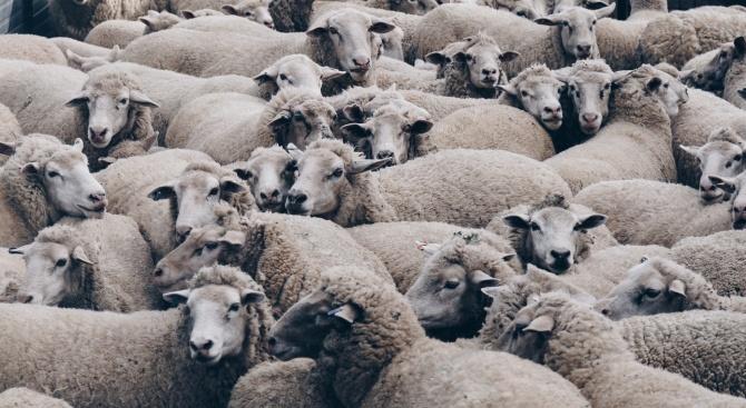 Хванаха трима, опитали да откраднат стадо овце в Костинброд