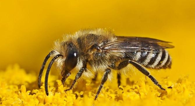 Снимка: Намалява популацията на десет вида диви пчели