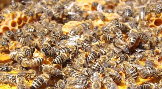 Снимка: Стотици пчелни семейства в Добрич са умрели през последните седмици
