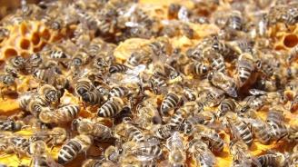 Стотици пчелни семейства в Добрич са умрели през последните седмици