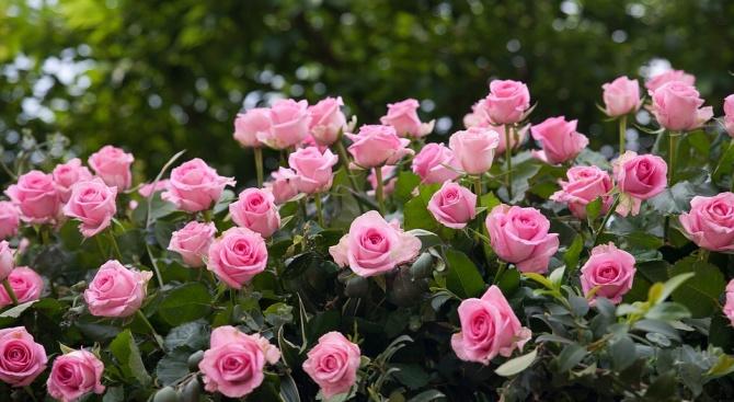 1000 лв. глоба за роза в градината