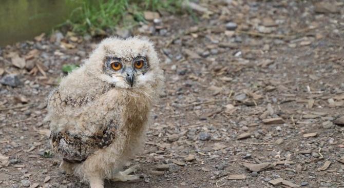 Експерти от РИОСВ - Пловдив спасиха новоизлюпена сова