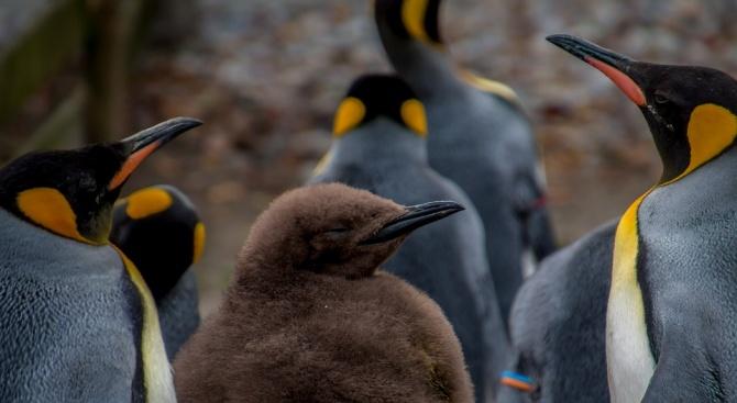 В Антарктида е регистрирана масова смърт на бебета императорски пингвини