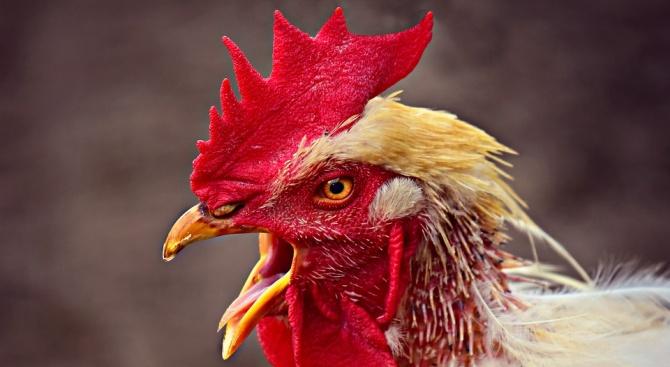 Петелът винаги се е считал за символична птица, отчасти заради