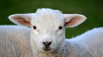 МВР-Перник предупреди за кражби на домашни животни преди Великден и Гергьовден