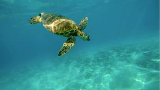 Ето защо морските костенурки плуват хиляди километри, за да снесат яйцата си на остров Възнесение