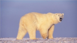 Върнаха в естествения й хабитат бялата мечка, която се изгуби в Камчатка