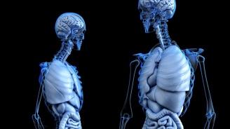 Германски учени създадоха прозрачни човешки органи