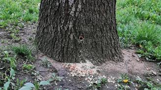 Убиват дървета с нафта