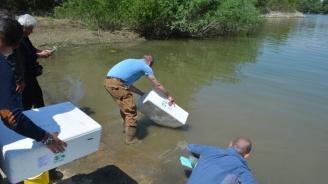 Конфискувани змиорки бяха пуснати в река Дунав