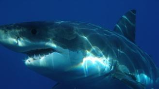 Откриха мъртва голяма бяла акула, задавила се с морска костенурка