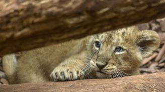 Проверяват зоопарка в Хасково заради починалите лъвчета