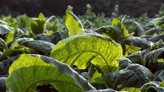 Започна разсаждането на тютюна от реколта 2019 в страната
