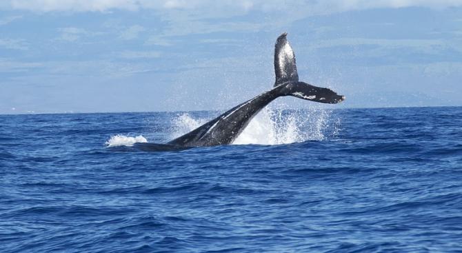 Три вида китове, които се срещат недалеч от бреговете на