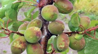 Пострадаха овощните насаждения от градушката в силистренско