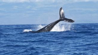3 вида китове, срещани край бреговете на Канада, са застрашени от изчезване