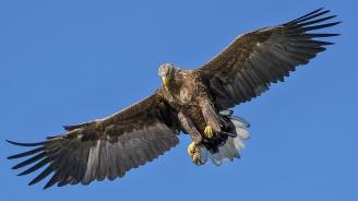 Орел с размах на крилата 2,5 м се блъсна в къща в Аляска