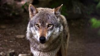 Велосипедист оцеля 7 дни в компанията на вълци
