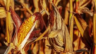 Повече царевица и слънчоглед от миналата година са засели земеделските стопани в Силистренско