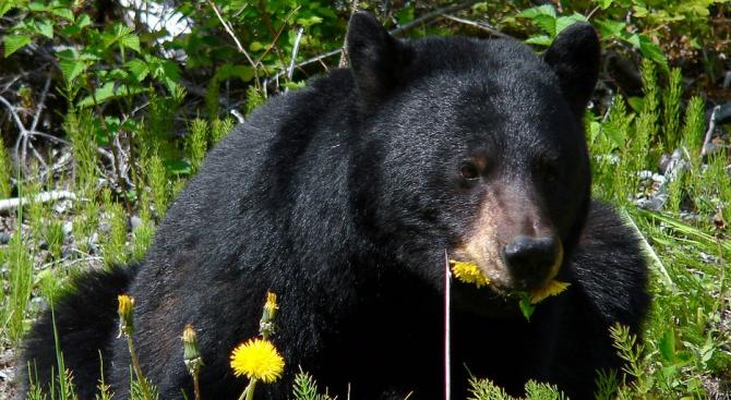 Изобретателна мечка подкупи куче, като му поднесе кокали от елен,