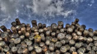 Лесничей помага за изсичането на гората в землището на село Къпиновци