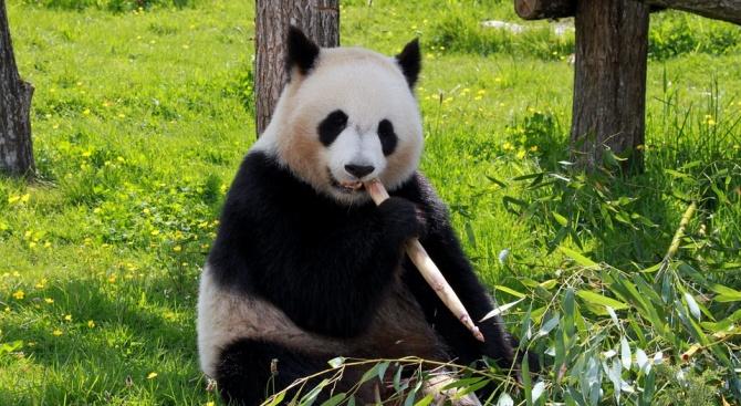 19-годишна панда е новият обитател на зоопарка във Виена