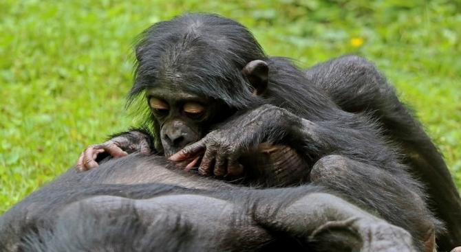 Майките бонобо помагат на синовете си да си намерят партньорка,