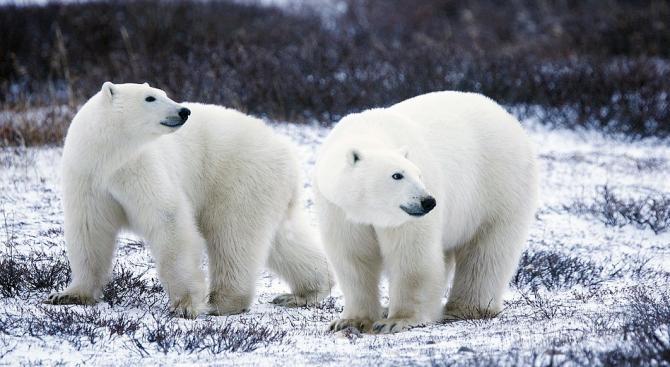 Учени разполагат с данни, че числеността на белите мечки в