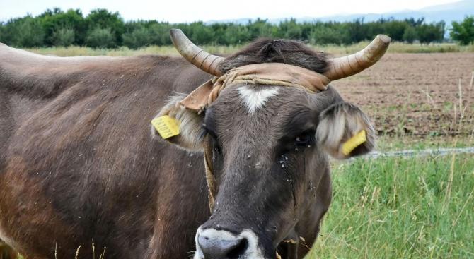 До месец международно известната крава Пенка ще стане майка, похвали