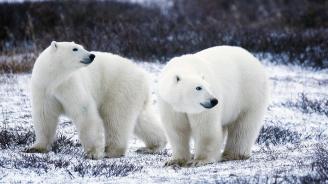 Белите мечки в Арктика се увеличават