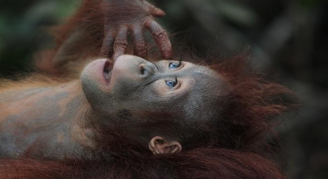 Маймуни, обитаващи горите на Западна Африка, издадоха ново гласово предупреждение,