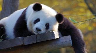 Вижте панда албинос в китайски резерват
