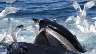 Здравето на китовете може да бъде установено по филтрите в устата им
