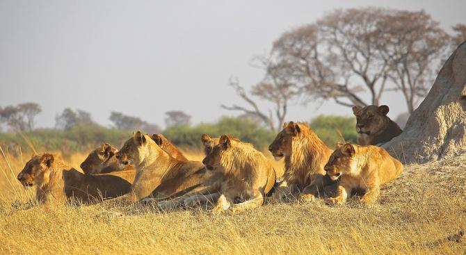 Прайд лъвове избяга от резерват в Южна Африка