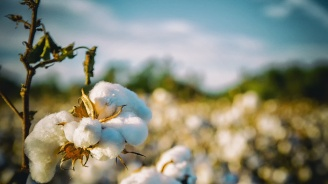 """ДФ """"Земеделие"""": Памукопроизводителите получиха близо 5 млн. лева за Кампания '2018"""