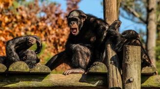 """Изпратиха шимпанзетата в """"горски гета"""""""