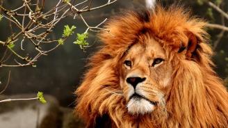 """""""Цар Лъв"""" се обяви в подкрепа на животните в Африка"""