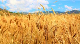Жътвата на пшеницата се очаква да започне в началото на юли