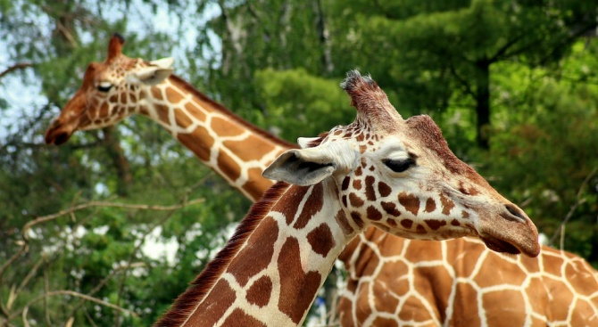 Гръм уби два жирафа в САЩ