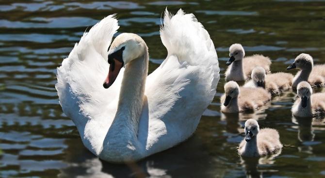 Семейство лебеди потърси спасение от дъжда при хората във Великобритания,