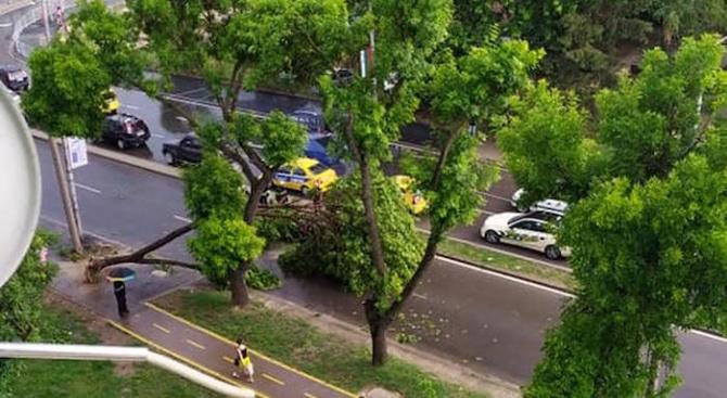Дърво падна върху кола на варненски булевард