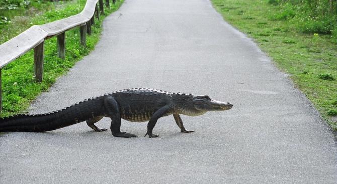Полицейски служители в щата Луизиана се оплакаха, че алигатор е