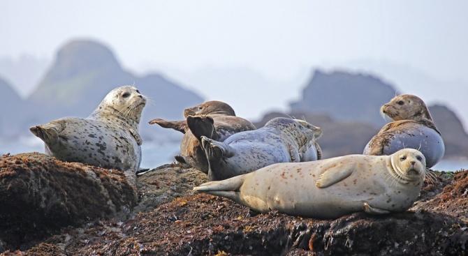 Десетки тюлени са открити мъртви по западното крайбрежие на Аляска