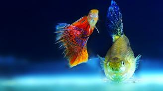 Рибите също страдат от любовна мъка