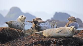 Откриха десетки мъртви тюлени по западното крайбрежие на Аляска