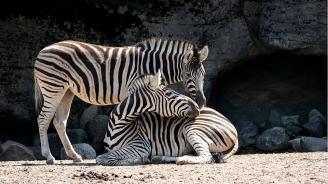 Райетата на зебрите служат за охлаждане
