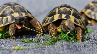Германец, пребиваващ постоянно в с. Микрево, е предаден на съд за незаконно държане на костенурки от защитен вид